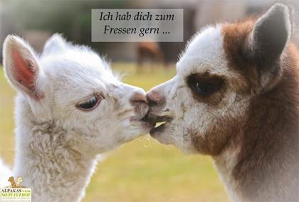 Alpaka Postkarte zum Fressen gern