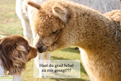Alpaka Postkarte Hund - Alpaka