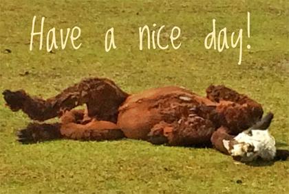 Alpaka Postkarte Nice day!