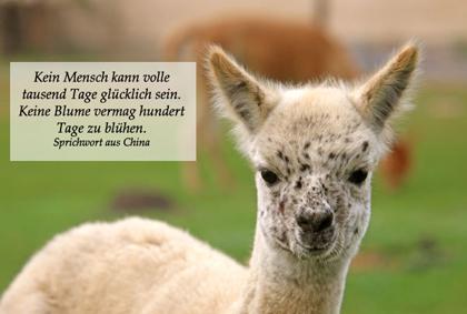 Alpaka Postkarte Sprichwort 1