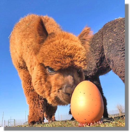 Alpaka Ei mit Alpaka Nachwuchs